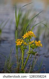 A flowering marsh-marigold plant.