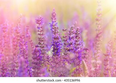 Flowering meadow - beautiful purple meadow flowers