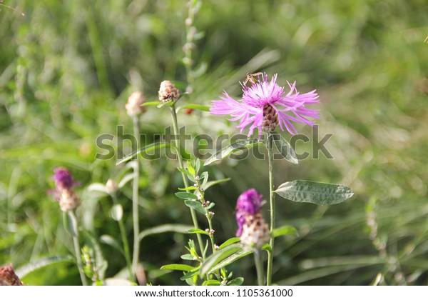 flowering-meadow-flower-lilac-cornflower