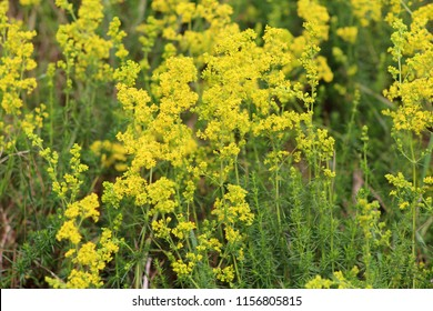 Flowering meadow, Galium verum, lady's bedstraw or yellow bedstraw. Galum verum is a herbaceous perennial plant. Healthy plant.