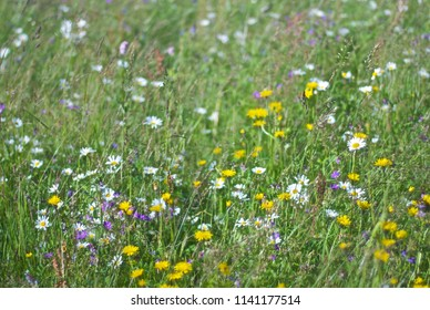 Flowering meadow. Wild Meadow Flowers. Meadow grasses. Summer landscape. Forest Glade. Colorful flowers. Motley flowers. Chamomile.  Background.