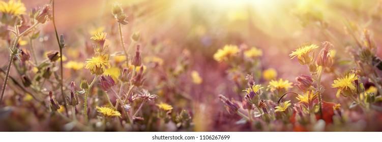 Flowering in meadow, yellow flowers in meadow lit by sunbeams-sun rays