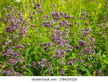The flowering medicinal plant Oregano (Latin name Origanum). Herbal medicine. A genus of plants in the Lamiaceae family. Selective focus