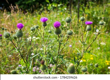 Flowering medicinal plant Thistle. Herbal medicine. Belongs to the family of Asteraceae (Compositae) Selective focus