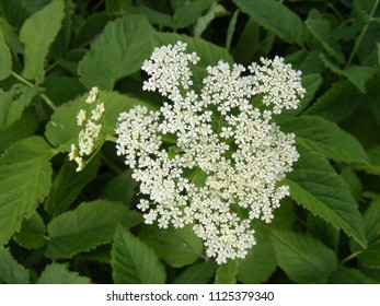 Sorbus aucuparia flowers rowan lowering rowan stock photo edit now flowering medicinal plants in nature blossom of ground elder latin name aegopodium podagraria mightylinksfo
