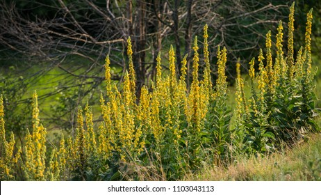 Flowering Mullein Plants on the Forest Background. Landscape in a hilly area. Ukraine. Europe.