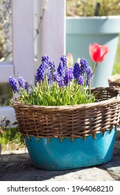 flowering muscari armeniacum Grape Hyacinth blue spring flowers in the blue zink pot wit wickery