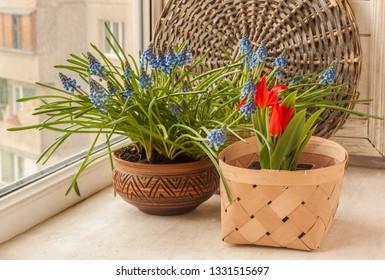 Flowering Muscari armeniacum on the balcony window in the spring