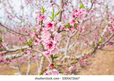 The flowering of the Nectarine trees. Nectarine trees blossom