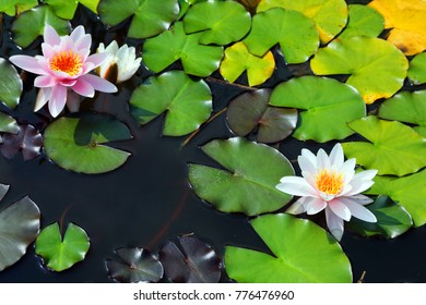flowering Nymphaea alba on the surface of the water