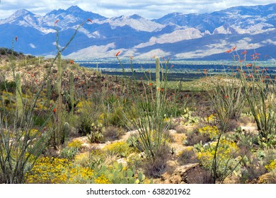 Flowering Ocotillo, Prickly Pear, and yellow Brittlebrush in Saguaro National Park