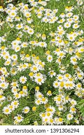 Flowering odorless chamomile, Tripleurospermum inodorum