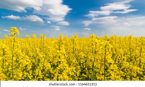 Flowering oilseed rape, blue sky, white clouds. Brassica napus. Romantic floral background. Golden rapeseed field. Spring rural landscape. Yellow blooming canola detail Agricultural subsidy, ecology.