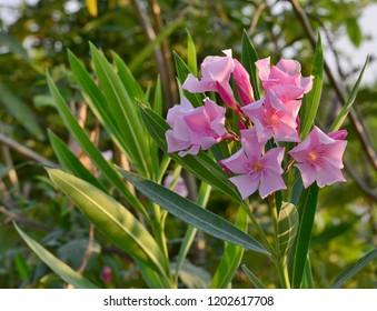 Flowering oleander (Nerium oleander, Apocynaceae) with pink flowers, Eraclea Mare, Italy