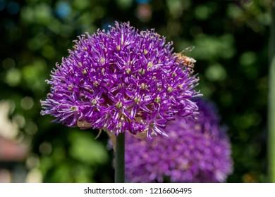 Flowering Onion (Allium aflatunense) in garden, Moscow region, Russia