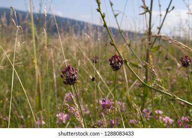 flowering onion on a meadow,  Allium vineale macro