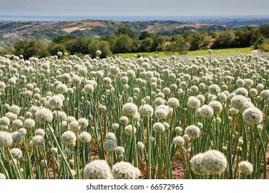 Flowering onionfield in Central Italy, le Marche