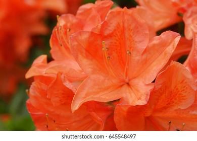 flowering of orange Azaleas