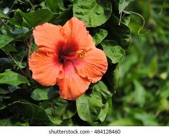 Flowering Orange Hibiscus against blue sky in the Dominica island, Caribbean