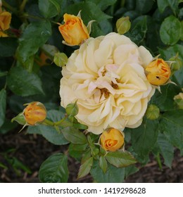 flowering orange yellow peach English Rosa absolutely fabulous Rose Bush