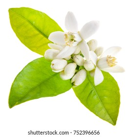 Flowering of oranges. White flowers of an orange and green leaves of an orange tree close-up. It is chopped on a white background. Orange plantations. Orange tree.