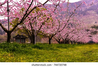 A flowering orchard