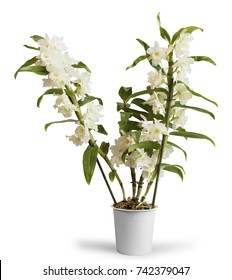 Flowering orchid Dendrobium Nobile in pot, isolated on white background
