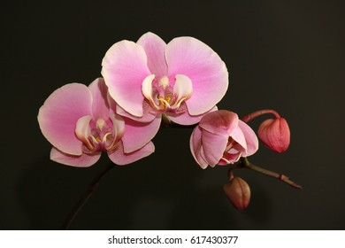 Flowering orchids. Roses orchids on a dark background. Three orchids