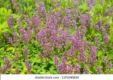 Flowering Oregano ordinary (lat. Origanum vulgare)