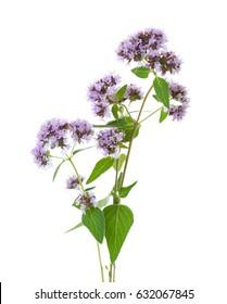 Flowering  Oregano (Origanum vulgare) isolated on a white background.