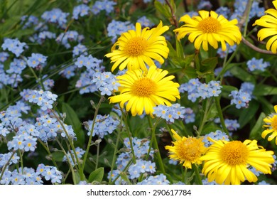 Flowering oxeye daisies (Doronicum) and forget-me-nots (Myosotis) in a garden