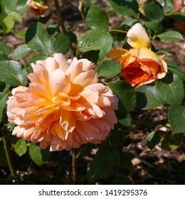 flowering peach orange English Rosa Dame Judi Dench Rose Bush