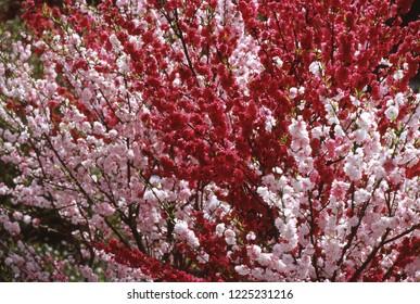 Flowering peach trees