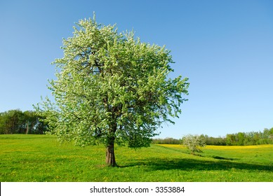 Flowering of a pear
