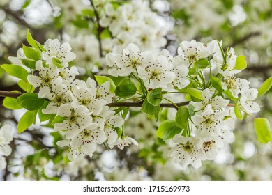 Flowering pear tree (Pyrus calleryana). This family of ornamental trees produces white spring blossom and glorious autumn foliage.