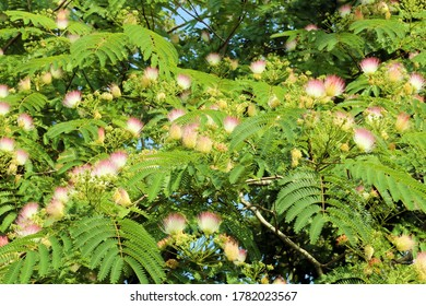 Flowering persian silk tree, pink silk tree (Albizia julibrissin).