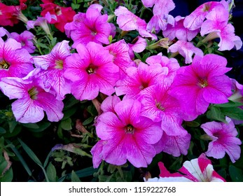 Flowering petunias on the flowerbed