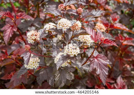 Flowering Physocarpus Red Leaves White Flowers Stock Photo Edit Now