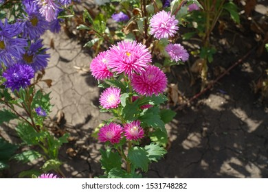 Flowering pink China aster in the garden in September