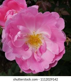 Flowering Pink English Rosa Skylark Rose Bush