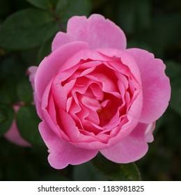 Flowering Pink English Rosa Skylark Rose Bush in Summer