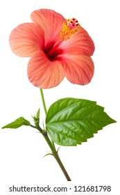 Flowering pink Hibiscus. Isolated on a white.