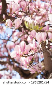 Flowering pink magnolia on the blue sky background