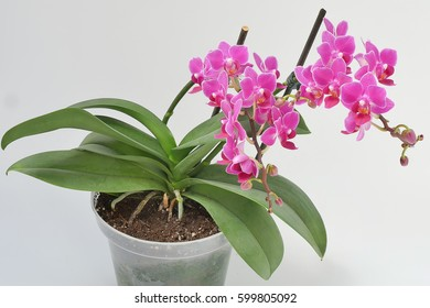 Flowering pink orchid on a light background