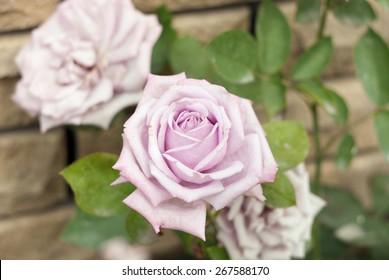 Flowering Pink rose head near wall