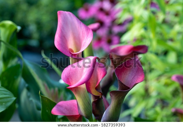 A flowering pink Zantedeschia, also known as calla or calla lily. This plant is native to southern Africa, but is now commonly grown as ornamental plant even in Europe, America, Australia and Asia.