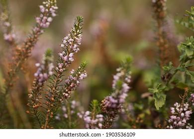Flowering plant Cornish heath (Erica vegans).