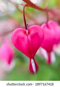 Flowering of the plant Dicentra formosa on a blurred background. This flower has another name - a bleeding or broken heart. Selective focus