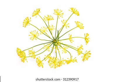 Flowering plant dill isolated on a white background