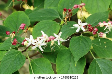 Flowering plant, large deciduous shrub - harlequin glorybower, glory tree or peanut butter tree (Clerodendrum trichotomum). The fragrant flowers, ornamental berries.